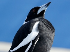 Magpie Moment, 2014