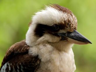 Kookaburra Moment, 2016